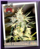 Sin City Sour Nightmare Fem 7 Cannabis Seeds